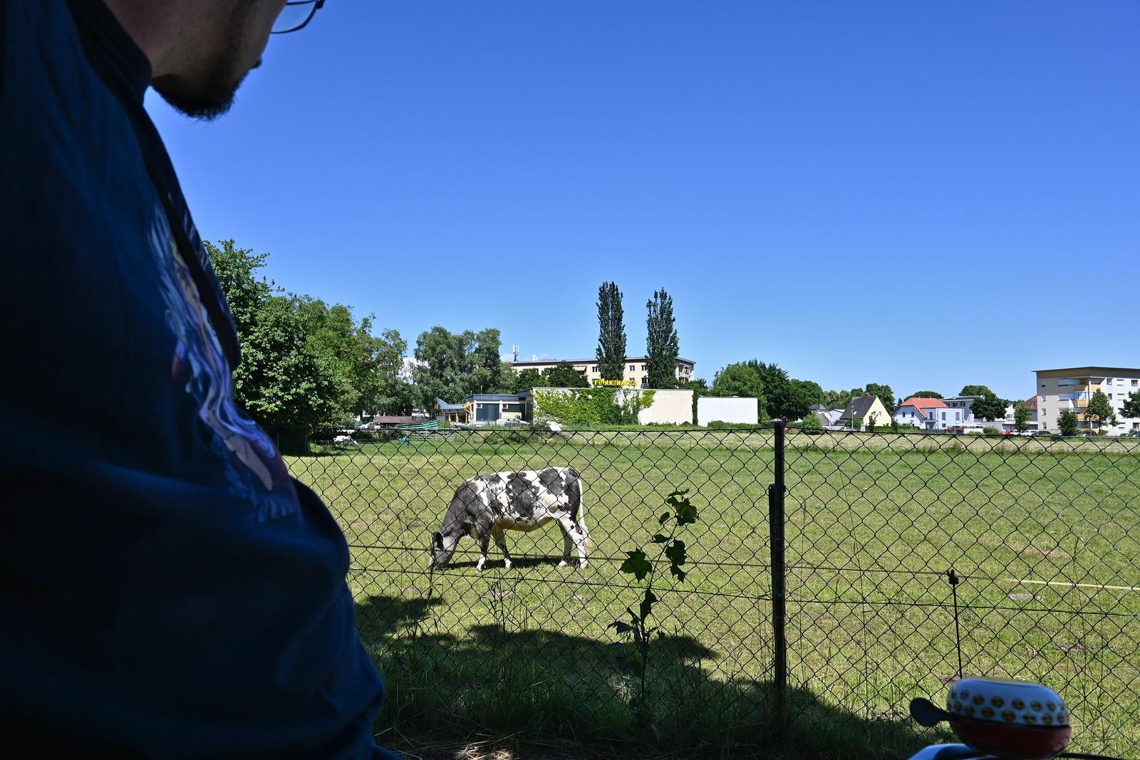 Kühe in Klagenfurt